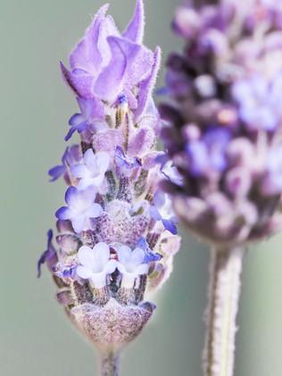 Australian Nature Images - Flora and Fauna - A Lavender head up close
