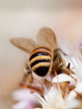 Australian Nature Images - Flora and Fauna - A Nectar Bee Perched on a Flower