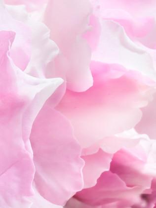 Australian Nature Images - Flora and Fauna - Light Pink Flower Petals Close-Up
