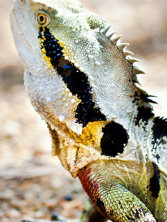 Australian Nature Images - Flora and Fauna - A Water Dragon