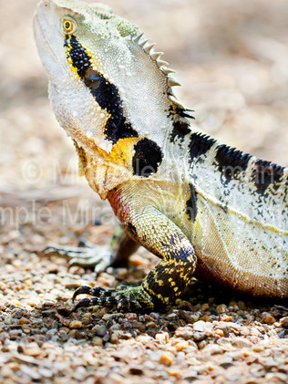 Australian Nature Images -  Flora and Fauna - A head shot of a water dragon