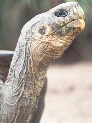 Australian Nature Images - Flora and Fauna - A Giant Tortoise Head