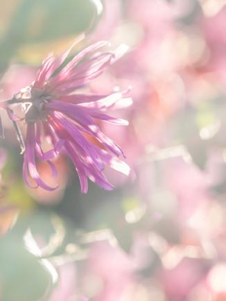 Australian Nature Images - Flora and Fauna - A Sunlit Loropetalum