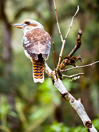 Australian Nature Images - Flora and Fauna - A Kookaburra perched on a branch