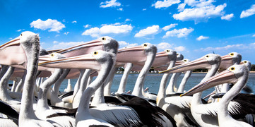 Australia's Flora and Fauna - Hungry pelicans at Lakes Entrance NSW Australia.