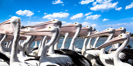 Hungry pelicans at Lakes Entrance NSW Australia.