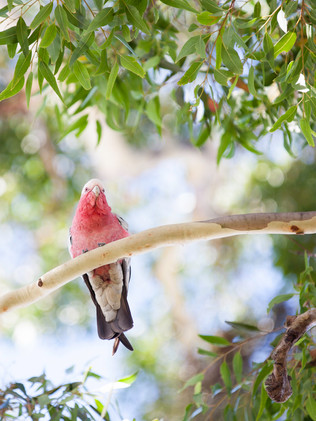 Australian Nature Images - Flora and Fauna - A Galah perched on a branch
