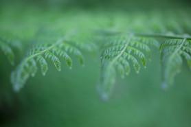 Australia's Flora and Fauna - A common bush fern, suspended. Sydney Australia.