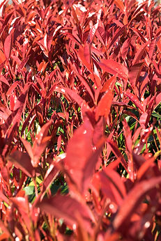 Artist, Michelle Dorothy Riksman, is an Author on the Autism Spectrum who photographs the Simple Miracles of Nature & Australia's Flora and Fauna through an Autistic Lens - Photinia Red Robin