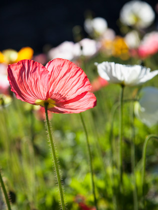 Australian Nature Images - Flora and Fauna - Poppy Flowers Backlit