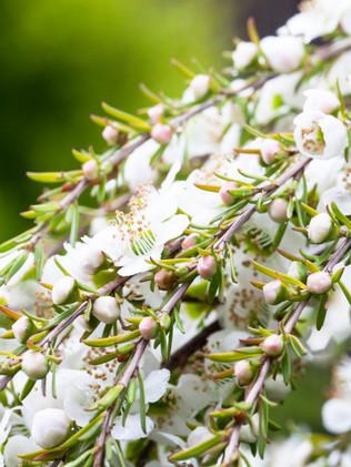 Australian Nature Images - Flora and Fauna - Native Plants - Leptospermum Tea Tree