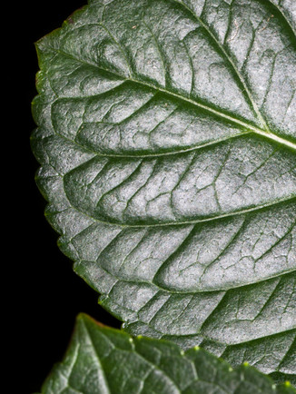 Australian Nature Images - Flora and Fauna - A dark green leaf in close proximity