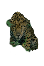 a-jaguar-crouches-in-the-forest-steve-wi