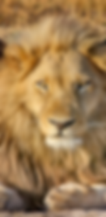 lionsnip.PNG