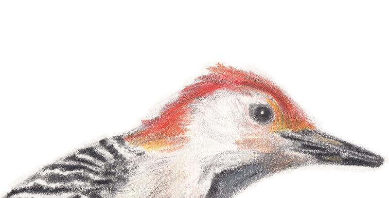 Woodrow the Woodpecker
