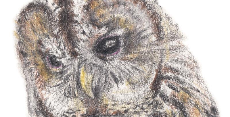 Tessa the Tawny Owl