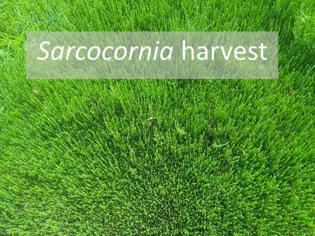 Sarcoconia Harvest