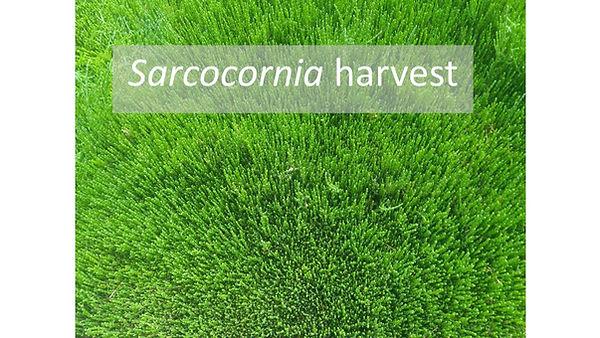 Sarcocornia Update 15.05.19 1.jpg