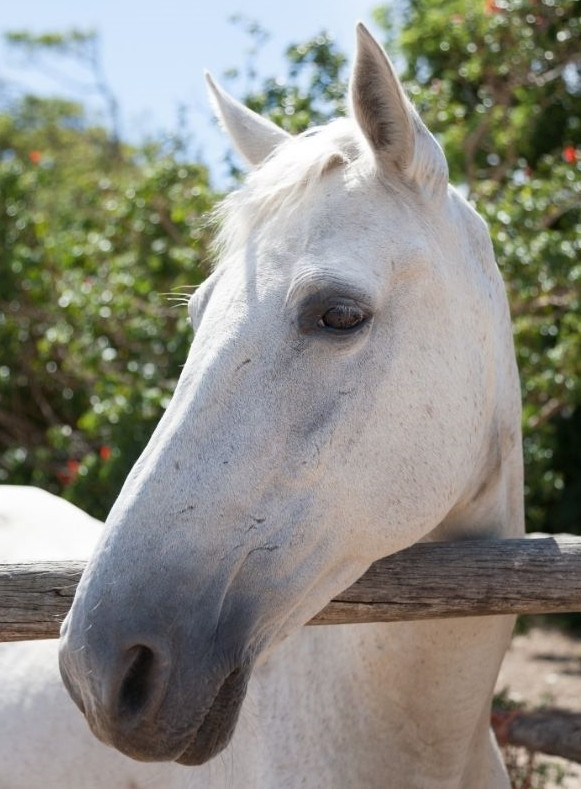 White horse's face standing at fence
