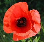Poppy_edited.jpg