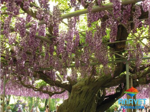 Bajo la wisteria