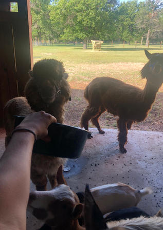 Feeding Alpacas.jpg