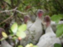 Fresh Thanksgiving Turkey, Pasture Raised Turkey