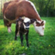 Pastured Beef, Baby Calf
