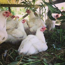 Our most intensive labor product on the farm-pasture raised chicken