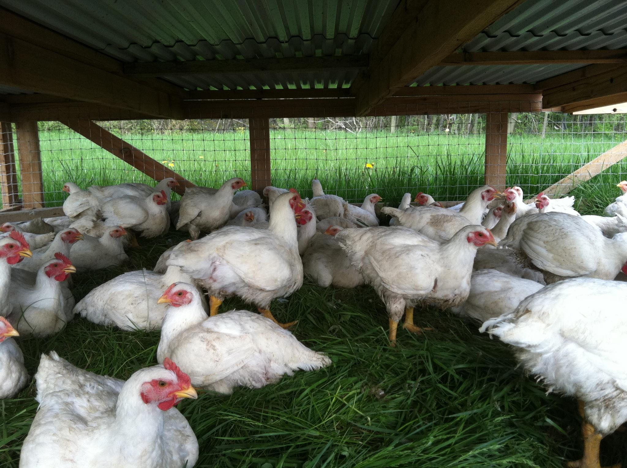Pasture Raised Chickens