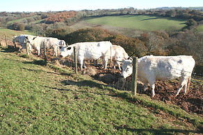 cattle near Pennymoor.jpg