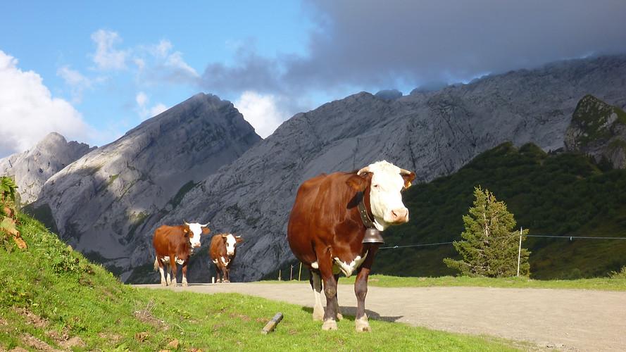 Alpine Trekking Cows