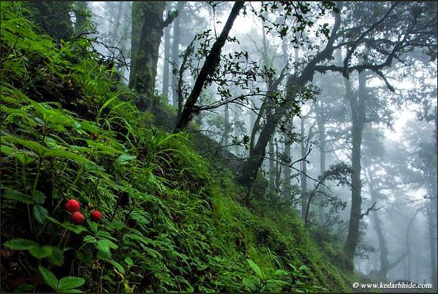 wild forest strawberries