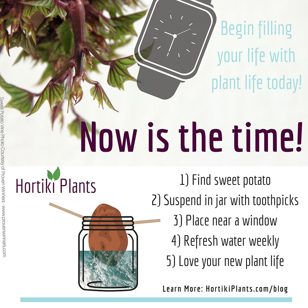 Image of growing sweet potato vine with step by step instructions for how to grow a plant from a sweet potato. Text reads: Begin filling your life with plant life today! Now is the time! 1 find sweet potato. 2 suspend in jar with toothpicks. 3 place near a window. 4 refresh with water weekly. 5 love your new plant life. Learn more at www.hortikiplants.com/blog