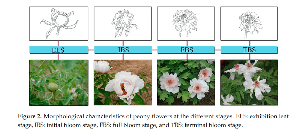 Peony Flowers in different stages of bloom