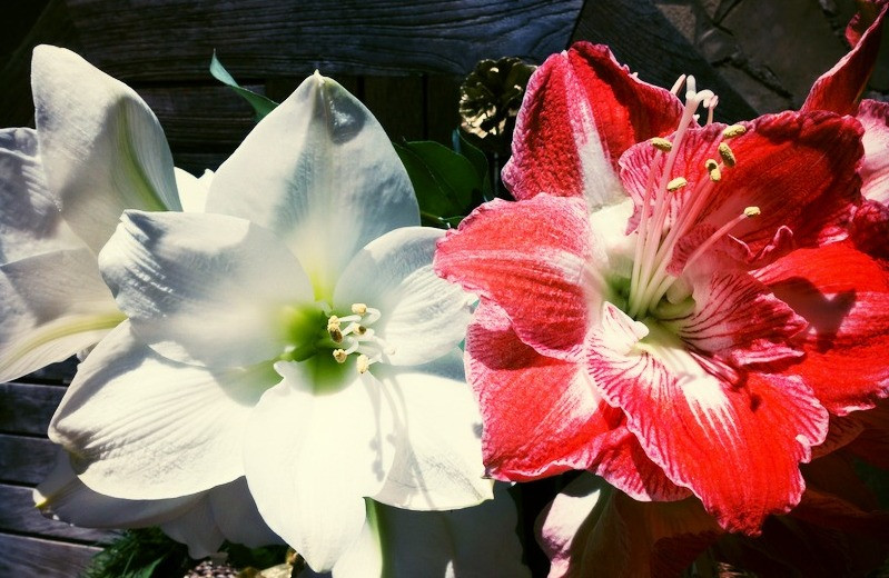 Blooming amaryllis flower