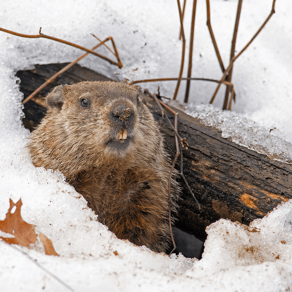 Photo of winter landscape with groundhog looking out of hole