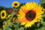 Sunflower image.jpg