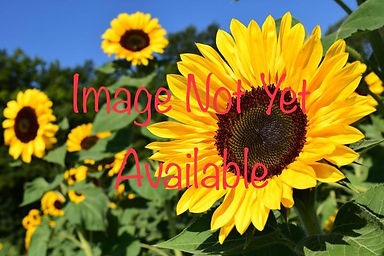 Sunflower image.jpg