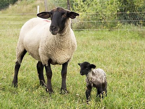 Суффолк бараны, овцы на племя