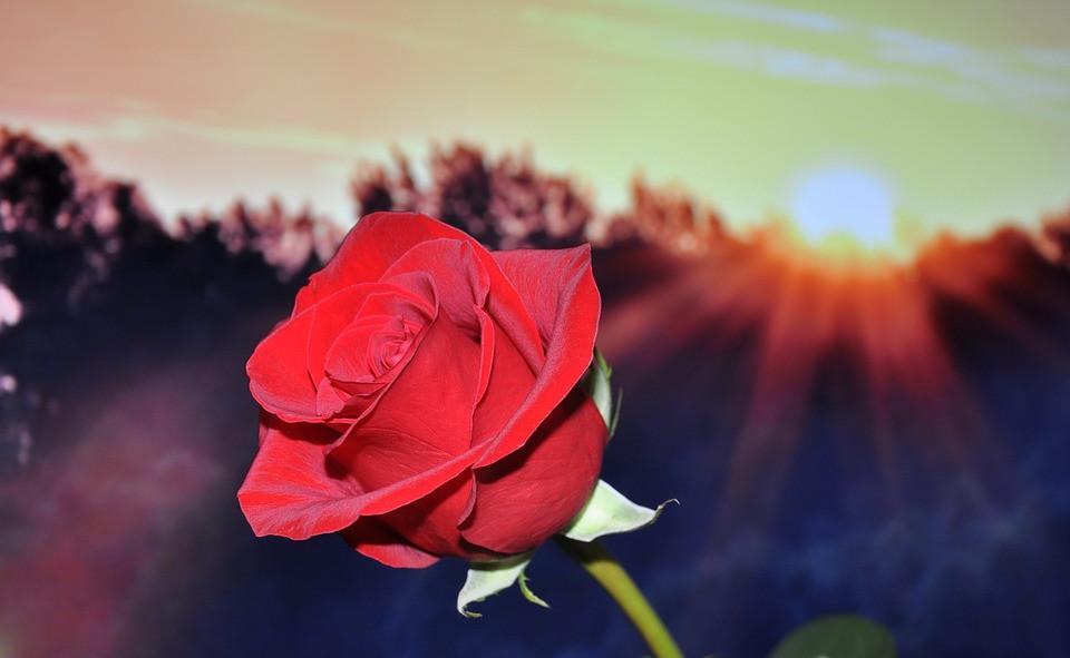 Rose: The favorite flower of Charlotte's Mom and Bernadette's Dad