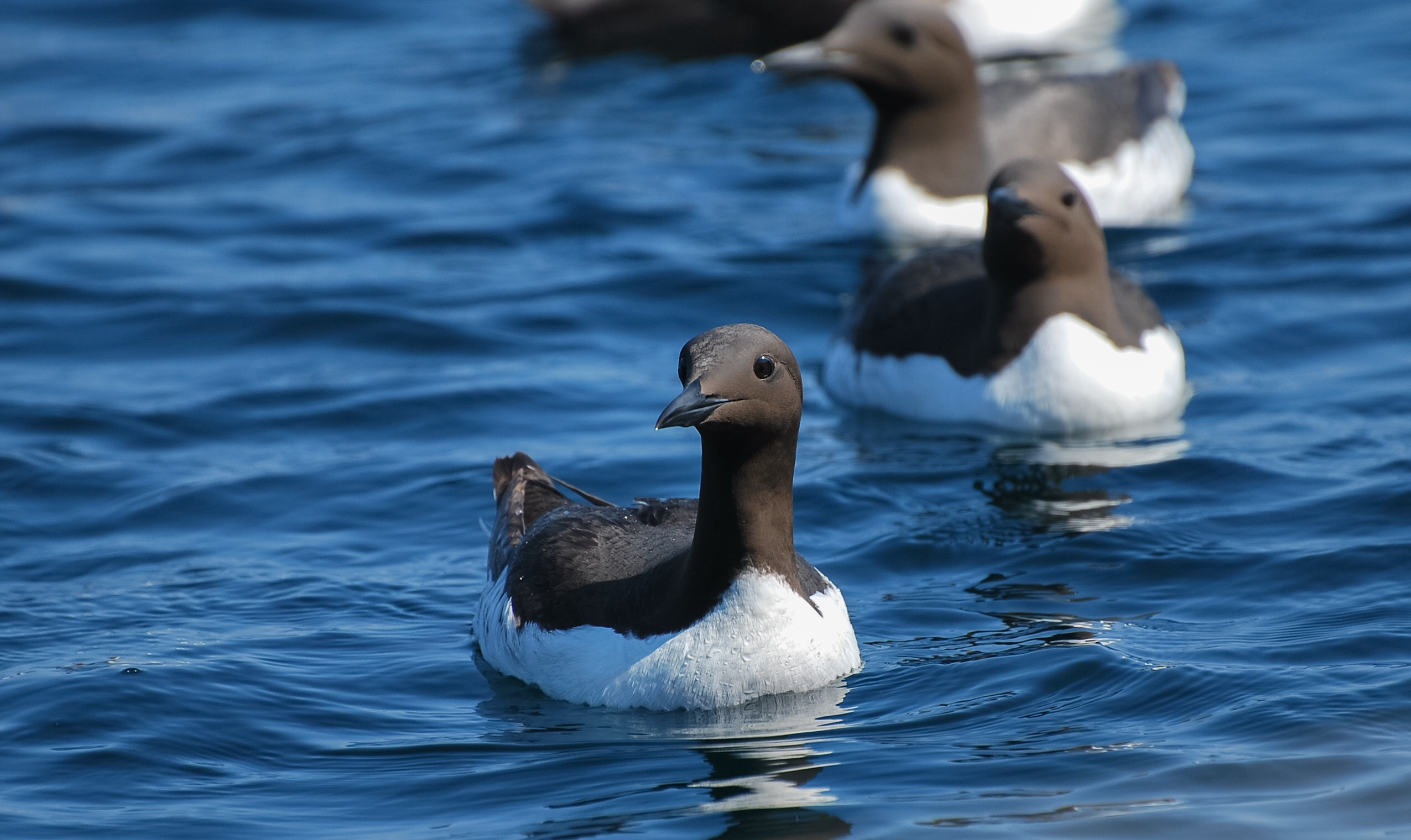 Black Guillemots at the Shiants