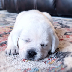 White English Labrador Puppy - White English Labrador Breeder Mylo, ND