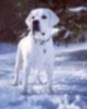 White English Labrador Puppy - White English Labrador Breeder Mylo, ND