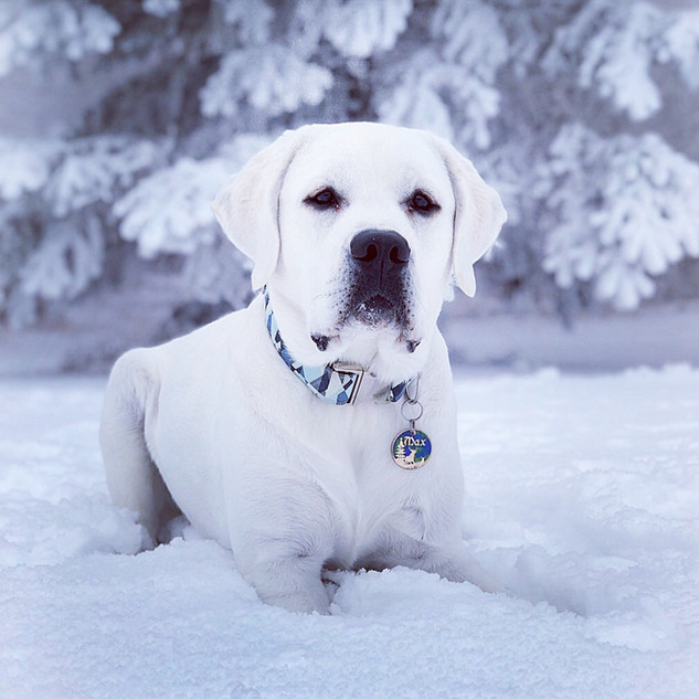 White English Labrador