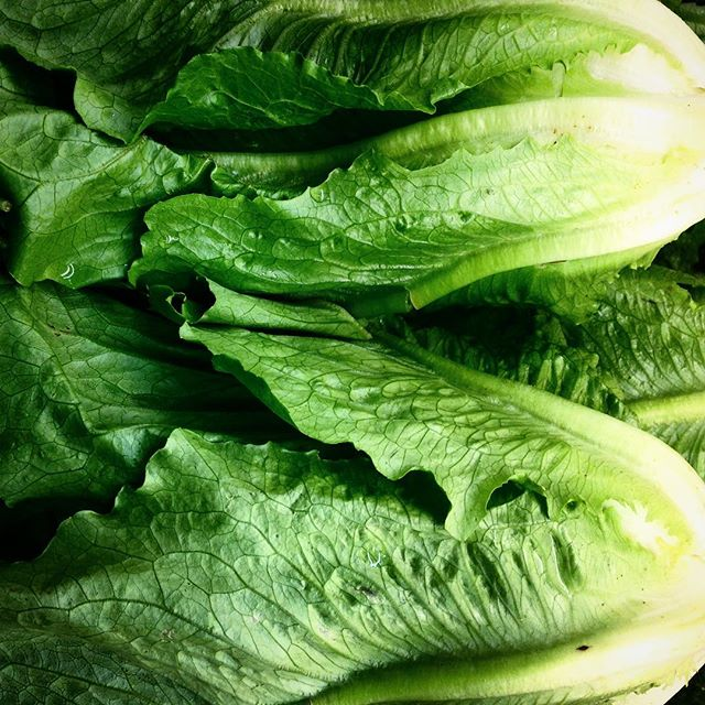 Organic Romaine Lettuce brought to you by Lost Creek Farm! #supportlocal #alwaysorganic #eugene #kiv