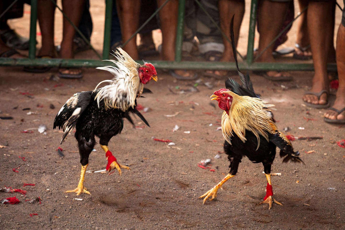 ROOSTERS IN THE ARENA
