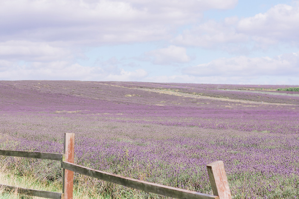 Lavender fields for a wedding shoot, Jessica Turner Designs