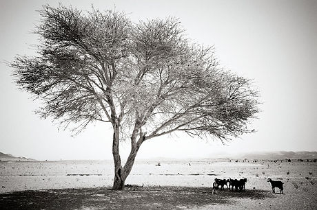 Sheep Under the Shade of a Tree Flock grazing in the desert under the shade of a tree, near Zagora. ©David Arnoldi
