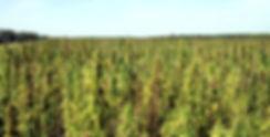 2013-hemp-field-2.jpg
